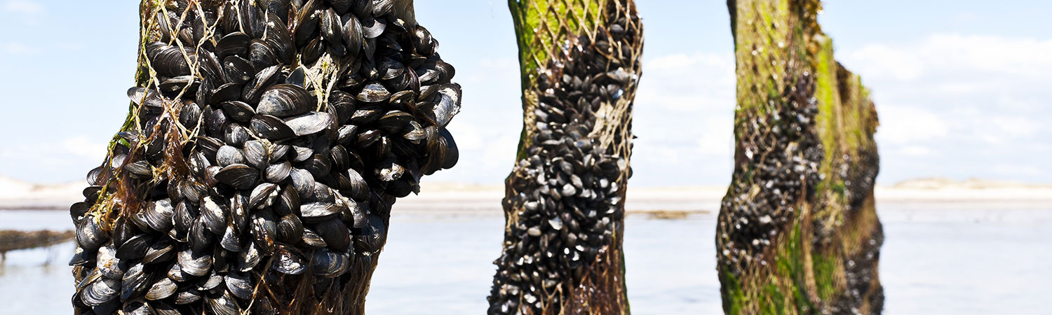 Mussels on poles/netting at an aquaculture farm